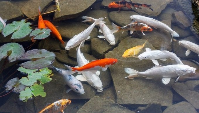 10 Best Pond Fishes You Should Know Koi Goldfish More Homegearx