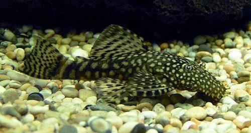 Bristlenose Plecostomus