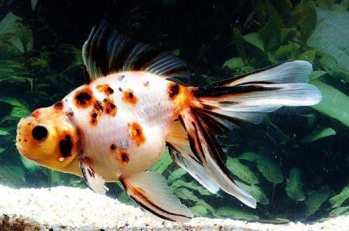 Calico fish