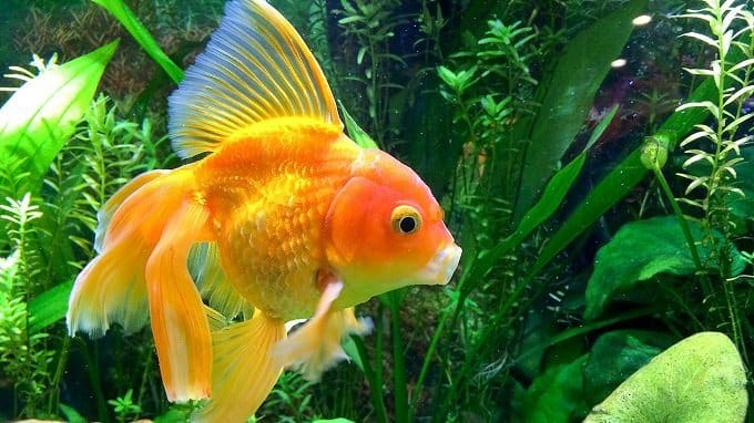 How to Buy Best Goldfish Food